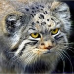 Kucing Langka : Pallas the Cat